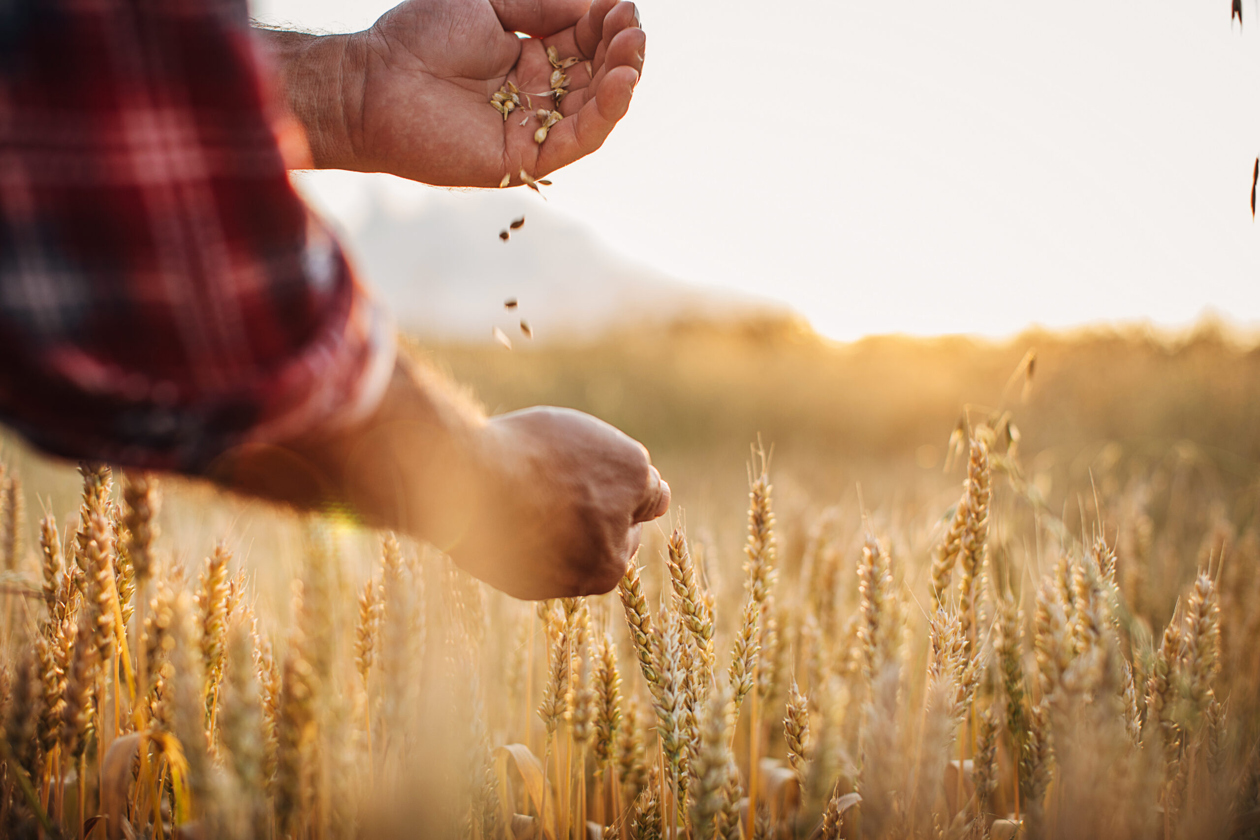 One rancher examining wheat crops